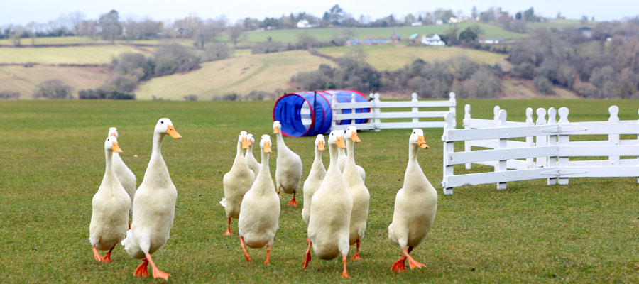 Duck Herding Activity Day - ACF Teambuilding